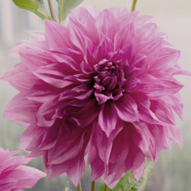 Dahlia Cafe Au Lait Royal