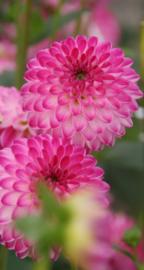 Dahlia Pink Isa