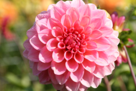 Dahlia Doris Duke