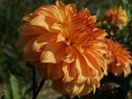 Dahlia Clydes Choice