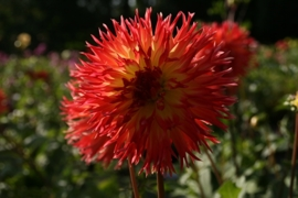 Dahlia Hapet Orange Cyrill