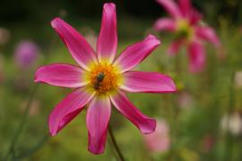 Dahlia Honka roze
