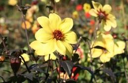 Dahlia Classic Summertime    Alleen in 5 L. pot op de kwekerij