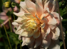 Dahlia Break Out