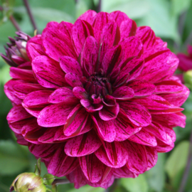 Dahlia Striped Night Rider