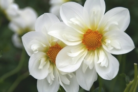 Dahlia Twyning`s White Chocolate