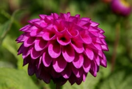 Dahlia Barbarry Aleks