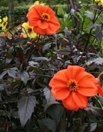 Mixpakket dahlia`s en vaste planten in vlammend oranje en zonnig geel   voor 8 m2.