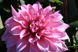 Dahlia Babylon lila