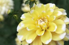 Dahlia Lemon Cane