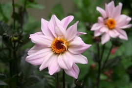 Dahlia Bishop of Leicester