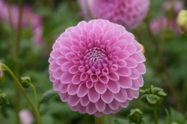 Dahlia Willowfield Matthew