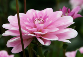 Dahlia Pink Perception