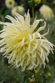 Dahlia Yellow Star