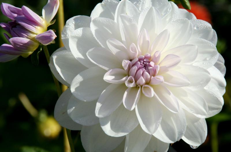 Dahlia Porcelain