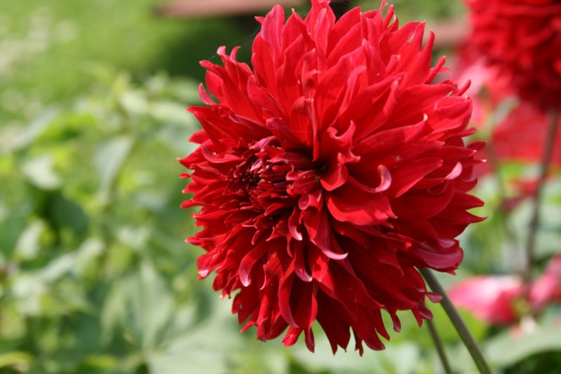 Dahlia Red Fubuki