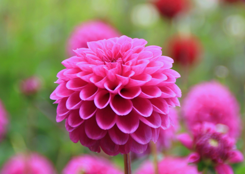 Dahlia Pink Sylvia