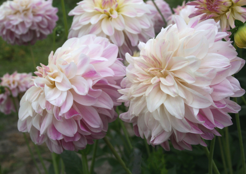 Dahlia Time for All