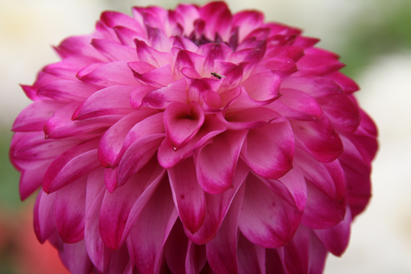 Dahlia Ada`s Attraction