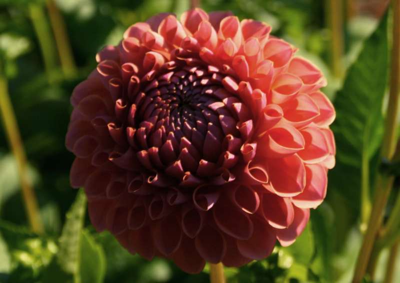 Dahlia Brown Sugar
