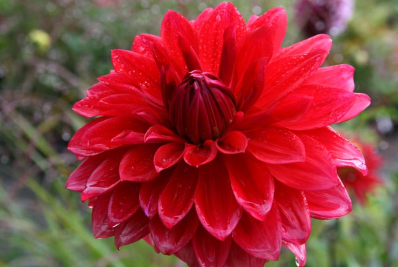 Dahlia Babylon rood