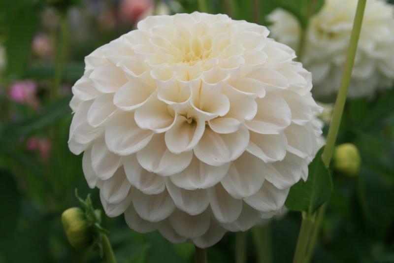 Dahlia White Renova