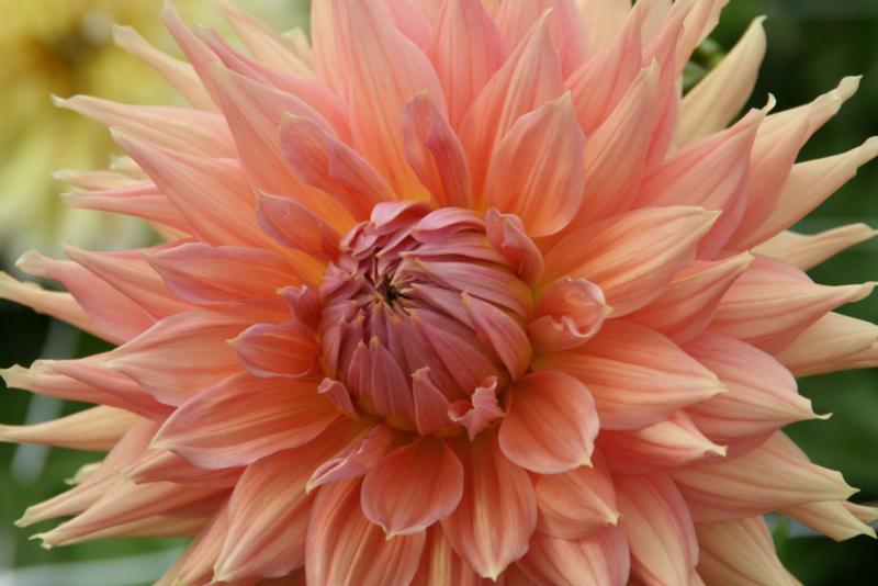 Dahlia Fairway Spur
