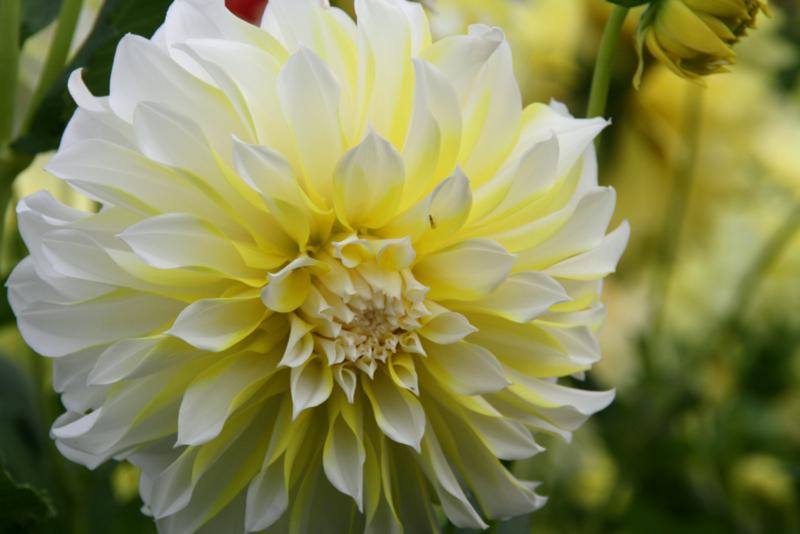 Dahlia Hollyhill Lemon Ice