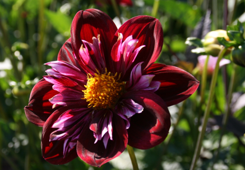 Dahlia Joyful Investment
