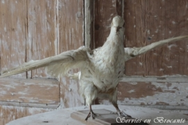 Duif/ Pigeon SOLD
