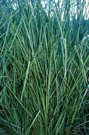 10 ml.Vetiver (Vetiveria zizanoides) bio, Madagaskar.