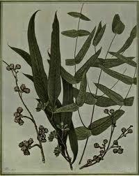 Eucalyptus smithii BIO 5 ml