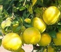 Grapefruit (Pompelmoes) 5 ml