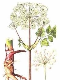 Engelwortel, wortel CO2 2.5 ml