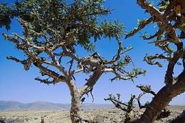 5 ml. Wierook (boswellia carterii), Bio, Ethiopië