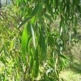 Eucalyptus radiata BIO 5 ml