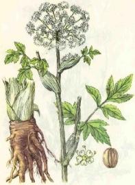 Engelwortel, wortel 5 ml