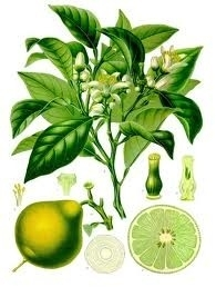 Bergamot 5 ml
