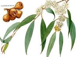 Eucalyptus, BIO 5 ml