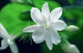 Jasmijn sambac 1 ml