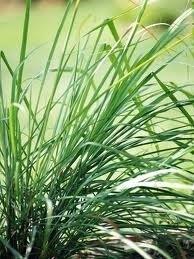 Lemongrass BIO 5 ml