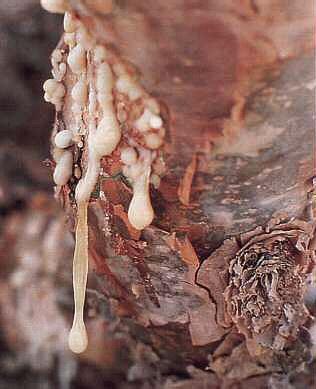 2,5 ml. Wierook Co2  extract (boswellia carterii, Somalië)