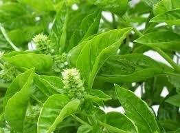 Basilicum ct.chavicol 5 ml