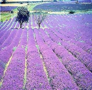 Nieuw: berglavendel uit de Haute Provence
