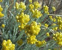 5 ml. Helichryse (helichrysum italicum) Merk Pranarom
