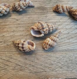 Spiraal schelp bedel  circa 2 tot 3,5 cm (BJ-SH-004) 1 stuk