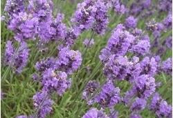 Lavender & white Amber