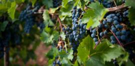 Frankrijk:  Domaine La Colombette - Pinot Noir ´Demi-Muid´