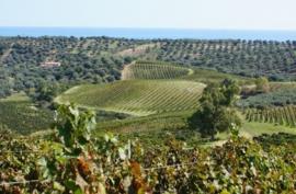 Het bijzondere druivenras Gaglioppo - Buy The Grape