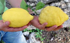 Terra di Limone Amalfi Limoncello